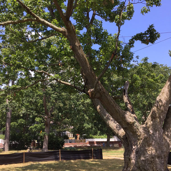 Maple tree at Lowell Memorial Park, Cambridge
